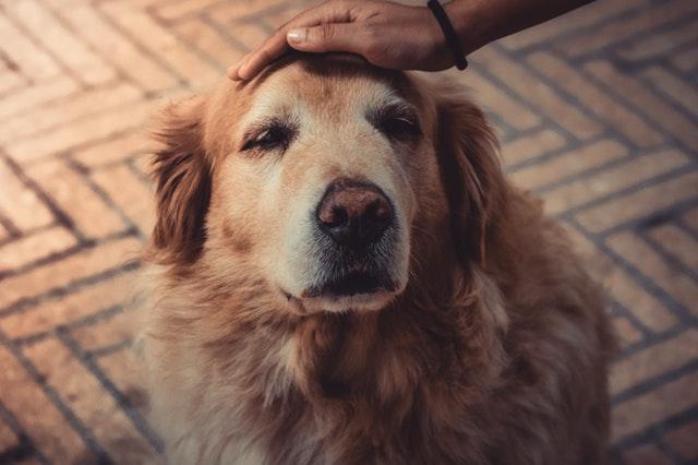 Cómo adiestrar a un perro sordo
