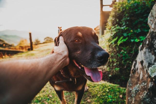 ¿Cómo educar a un perro adulto?