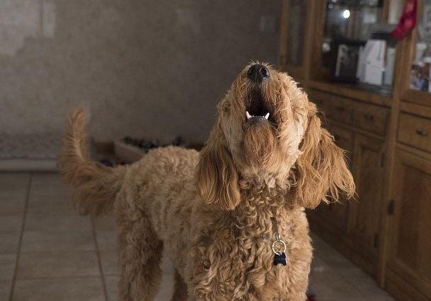 perro-no-ladre-4